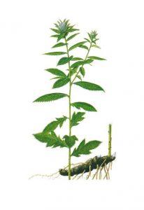 ชางชู่ (Atractyloides Macrocephala Root Powder)