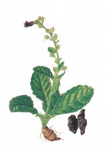 ตี้หวาง (Rehmannia Glutinosa Root Extract)